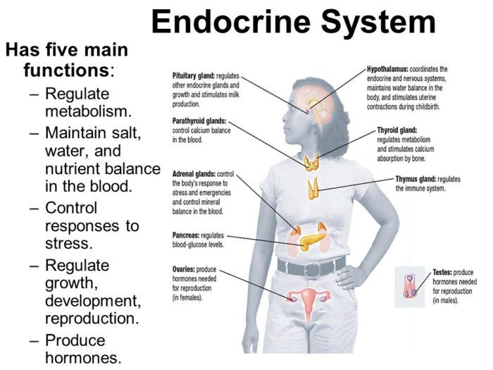 human endocrine system The endocrine system is a set of hormone secreting glands within the body of an animal the function of the endocrine system is homeostasis, communication and response to stimuli.