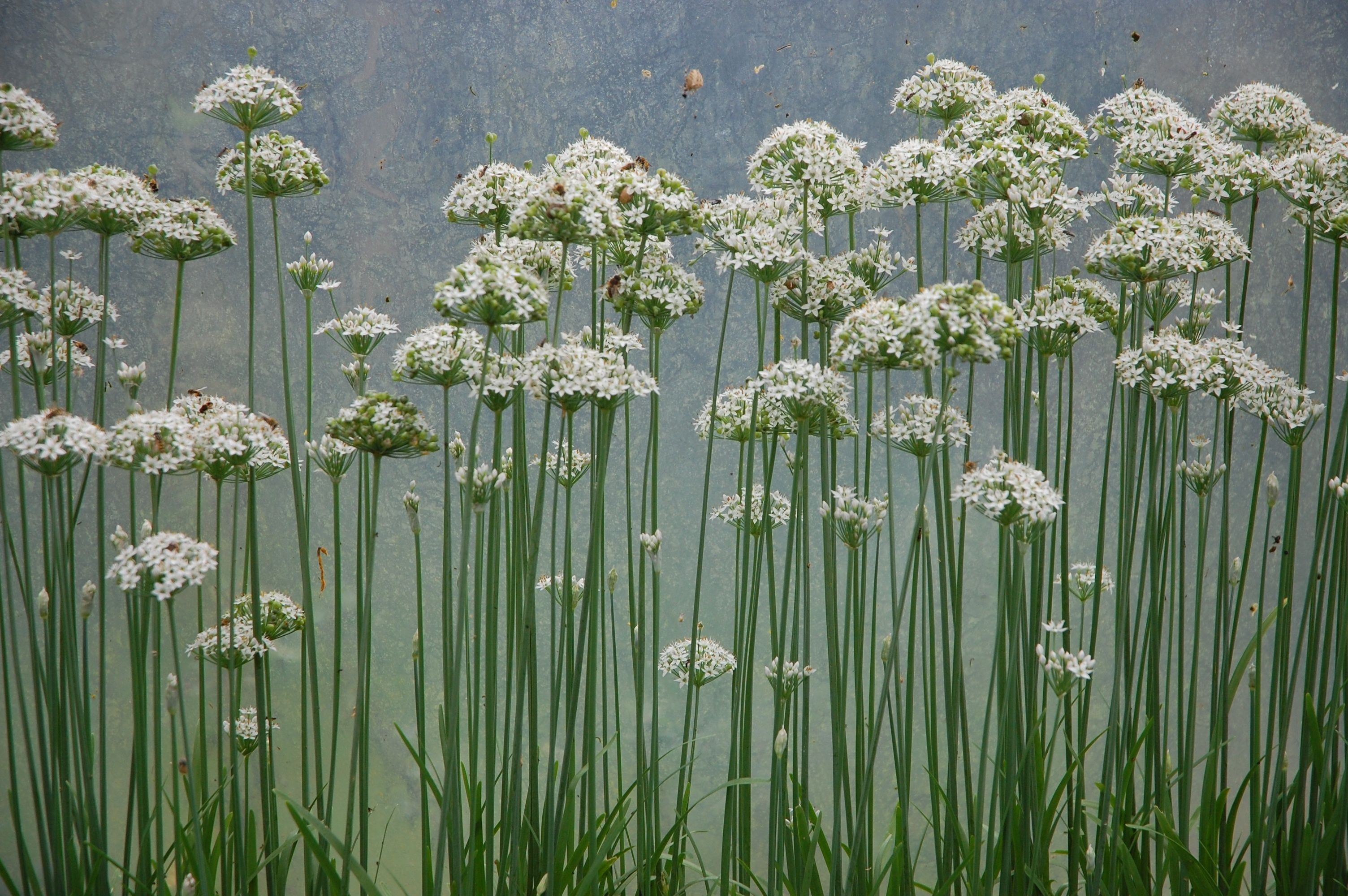 We Cultivate Our Chives In Amongst Our Herb Bed But Did You Know That Wild Chives Are One Of The Most Common And Easy To I Chives Plant Herb Seeds Wild