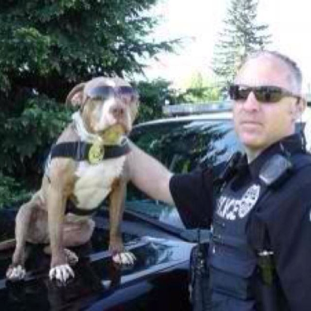 Pitties Used For Police Work Police Stuff Perros Divertidos