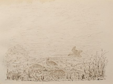 "Grouse on Moorland by Charles Murray Adamson (1820-1894) Pen and ink drawing on paper In a cream conservation grade mount (matt) ​In fair condition, there is some very minor discolouration to the top edge, as illustrated ​Drawing: 17.3 x 23.9 cm (visible); mount: 28 x 35.5 cm (11"" x 14"")"