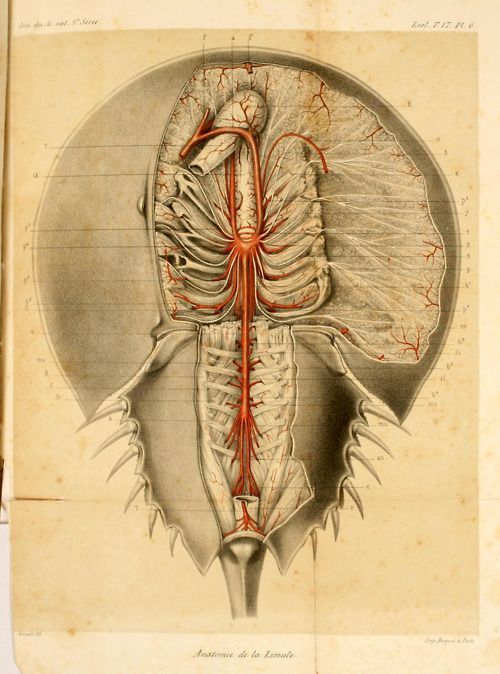 Anatomy Of The The Atlantic Horseshoe Crab Limulus Polyphemus From