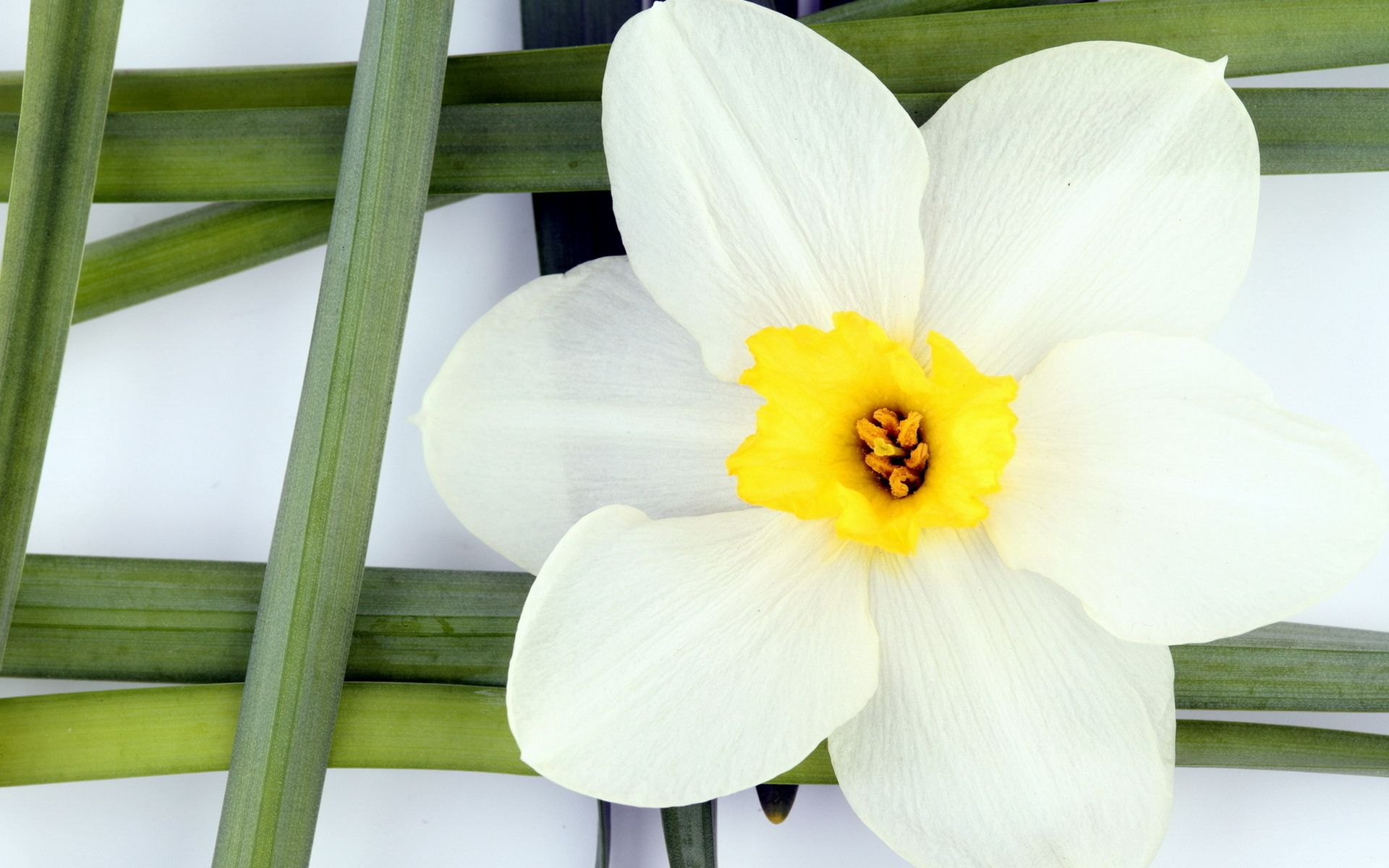 White daffodil flower wallpapers httpwhatstrendingonline white daffodil flower wallpapers httpwhatstrendingonlinewhite daffodil mightylinksfo