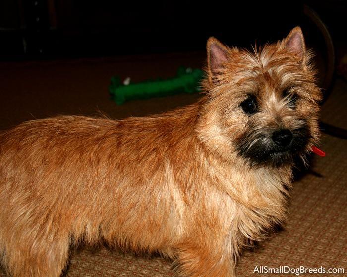 Red Cairn Cairn Terrier Terrier Cairn