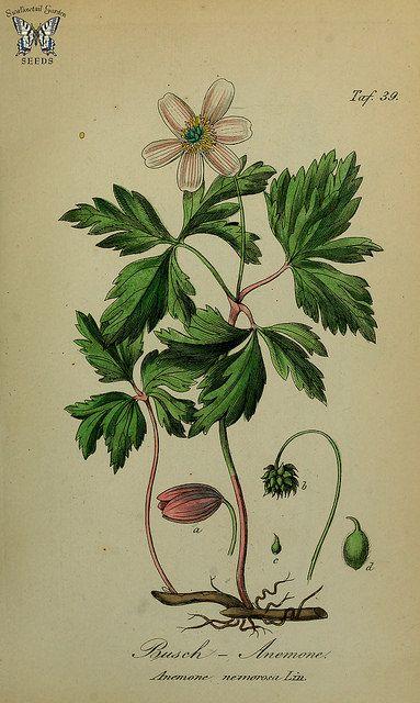 Anemone nemerosa. Sammtlich Giftgewache Deutschlands (1854) | by Swallowtail Garden Seeds