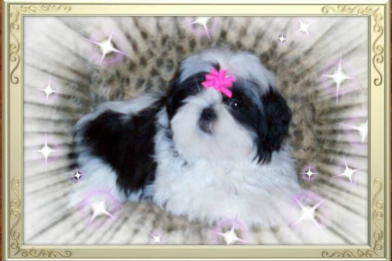 Coco Is A Black White Female Akc Registered Shih Tzu Adult With