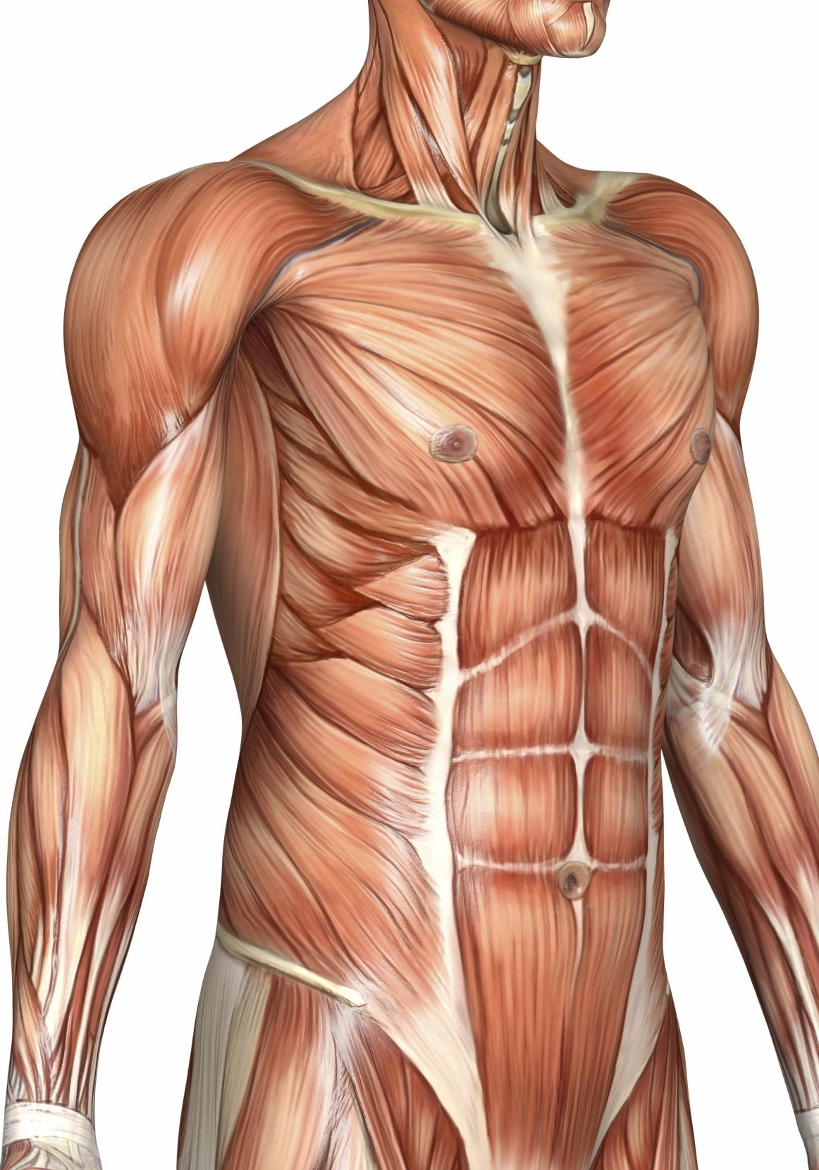 Human Body Torso Muscles - This Could Be You - Go Check Out ...