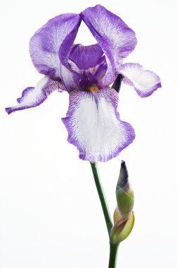 Fresh White And Violet Iris Flower With Stem Isolated On White Iris Flowers White Background Photography Purple Iris