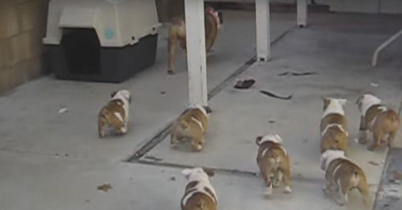 Bulldog Puppies Chasing Mom Http Lovable Dogs Com Bulldog