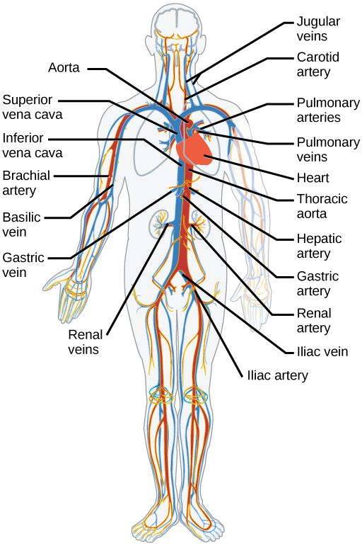 main arteries and veins of the body