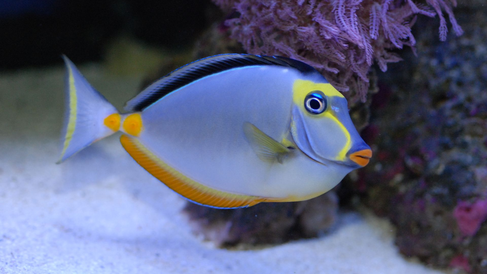 Tang fish - photo#40