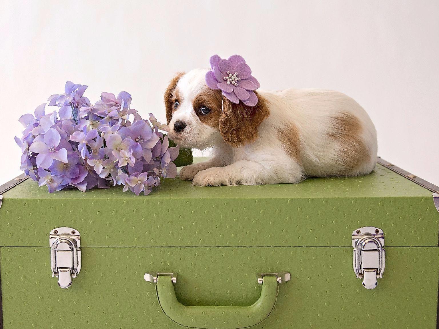 Cavalier King Charles Spaniel Puppy Flower Girl King Charles