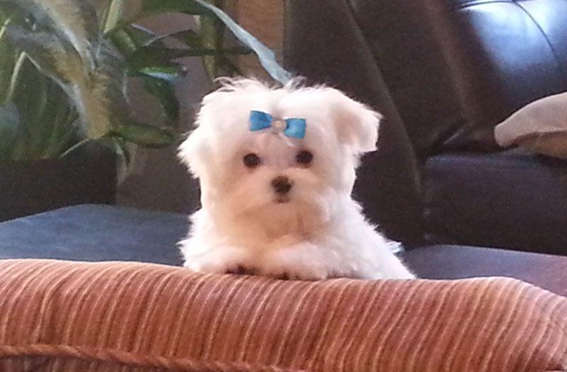 Maltese Puppy From Lachicpatte Com Maltese Maltese Yorkie