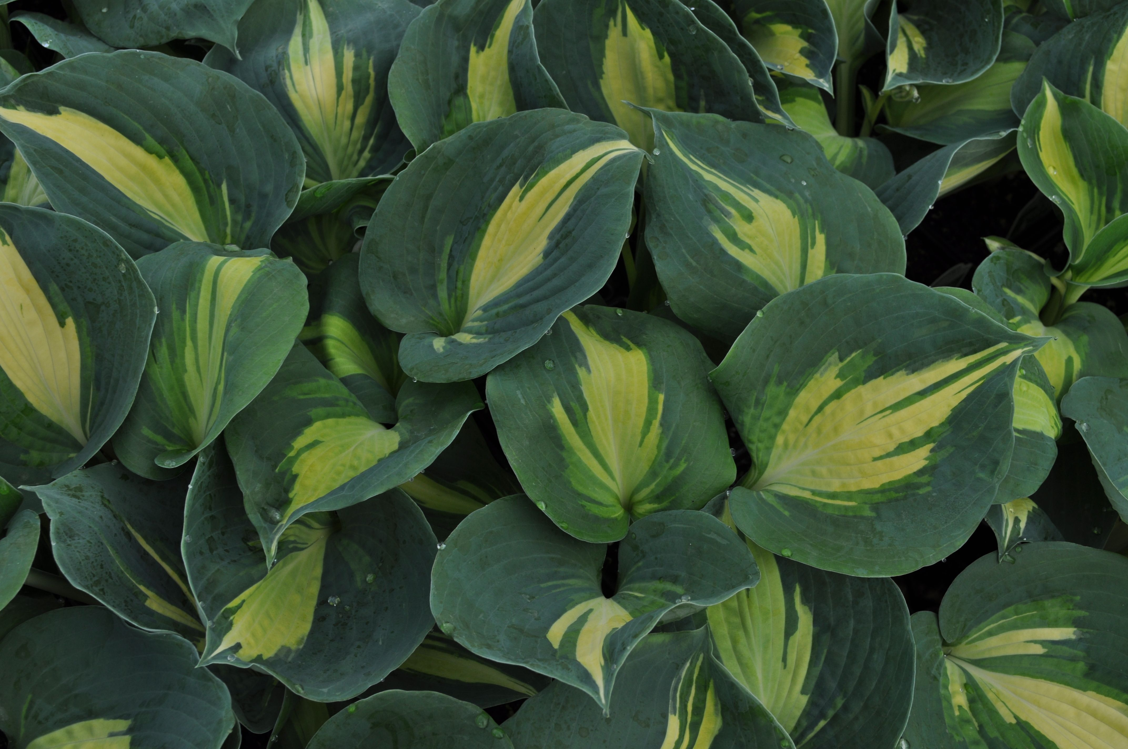 Hosta Dream Queen A Sport Of Great Expectations Having A Much