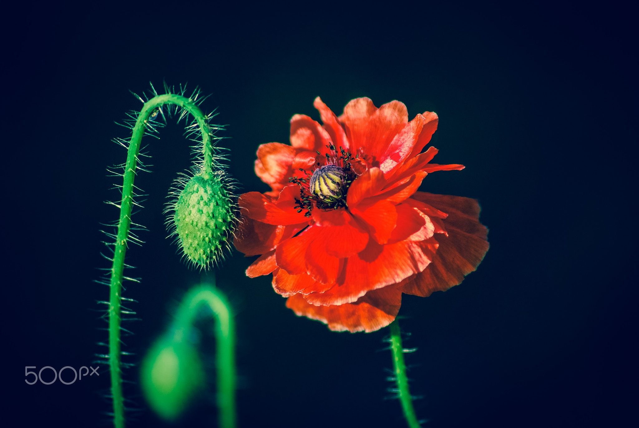 Red Poppy  To view more of my other work you can checkout my
