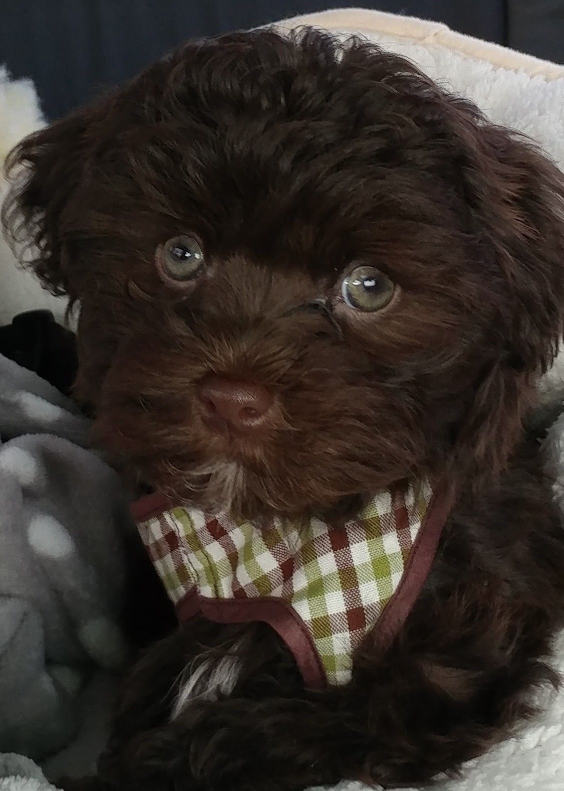Chocolate havanese puppy pawsitivelypaisley havanese