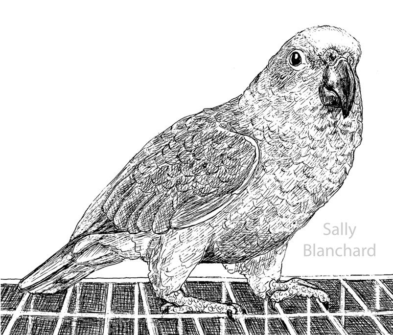 Sally Blanchard - Pen Drawing Yellow-fronted Amazon on Cage