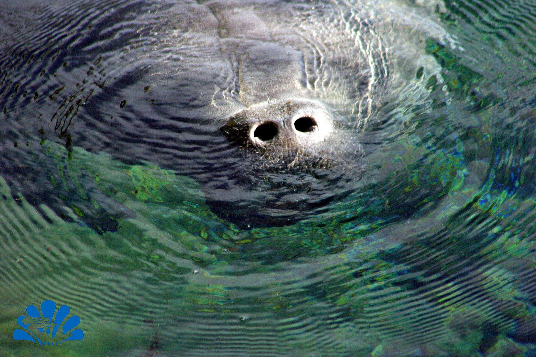 acf157084cab A manatee pokes his nose above the surface of the Weeki Wachee River ...