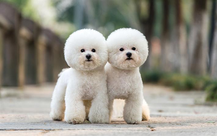 Fondos De Pantalla De Animales Graciosos: Descargar Fondos De Pantalla Caniche, Perros, Mascotas