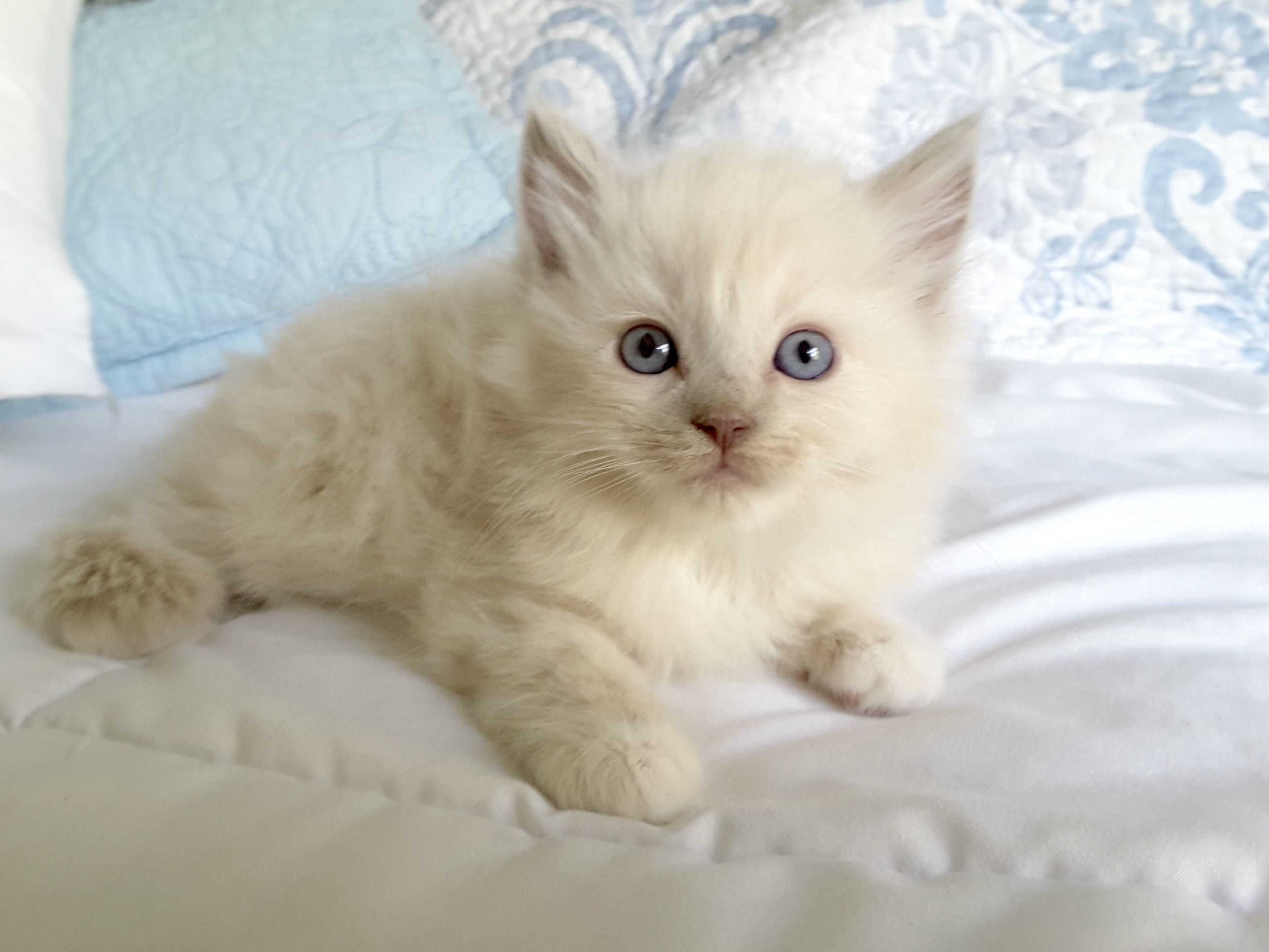 Available Ragdoll Kittens For Sale Mink and Sepia Ragdolls