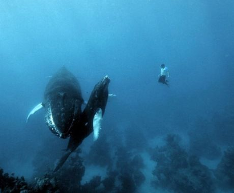Free Diving With Whales Source.