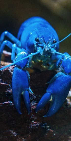 Picture of a blue lobster. #Crustaceans #SeaCreatures #MarineLife #Lobster