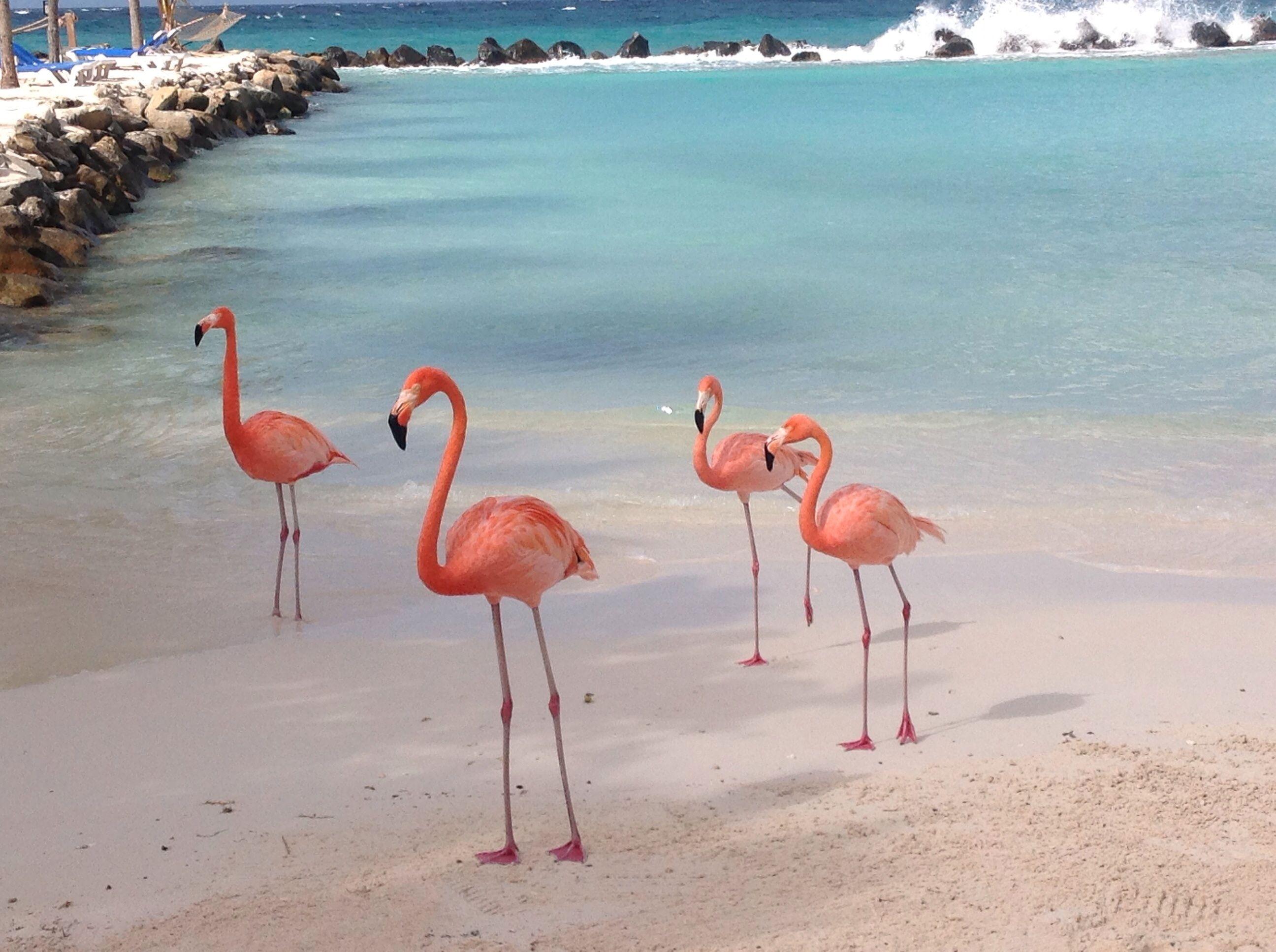 Aruba Gallery Orange Flamingoes on Flamingo