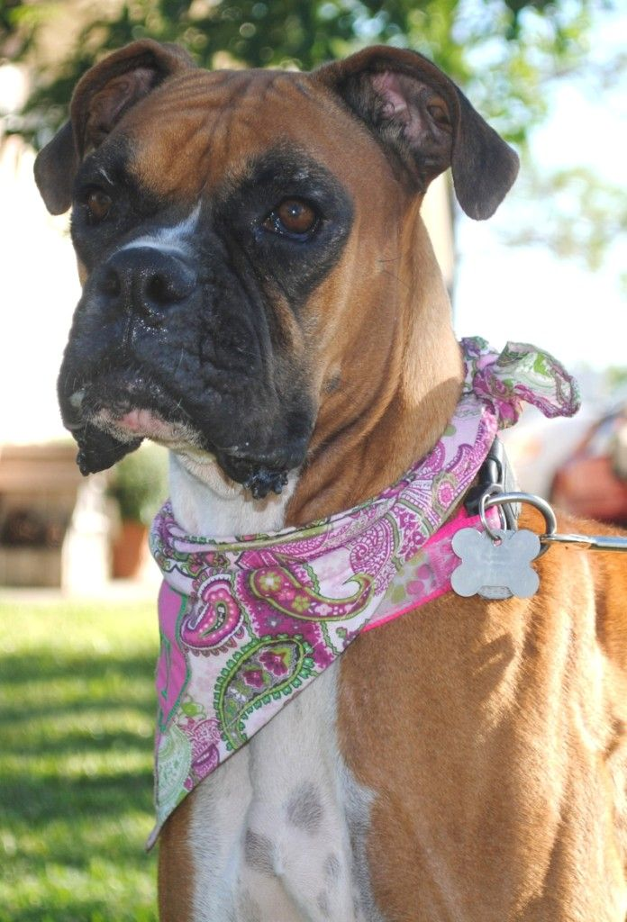 Miss Piccadilly Up For Adoption Legacy Boxer Rescue Boxer