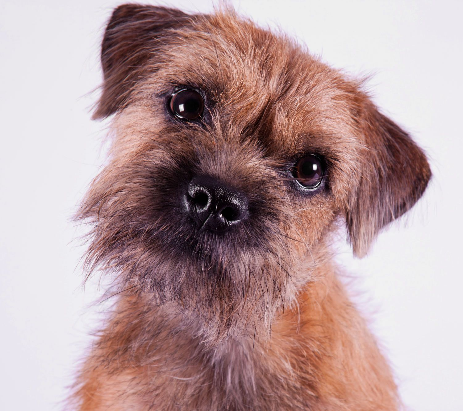 Image Result For Border Terrier Colours Terrier Breeds Border