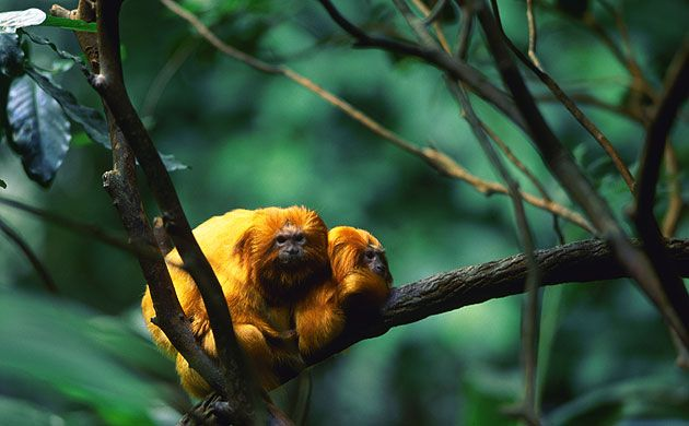 Credit: Philip Marazzi/Corbis Two golden lion tamarin monkeys (), native to the tropical forests south of Rio de Janeiro, huddle together on the branch of a tree.