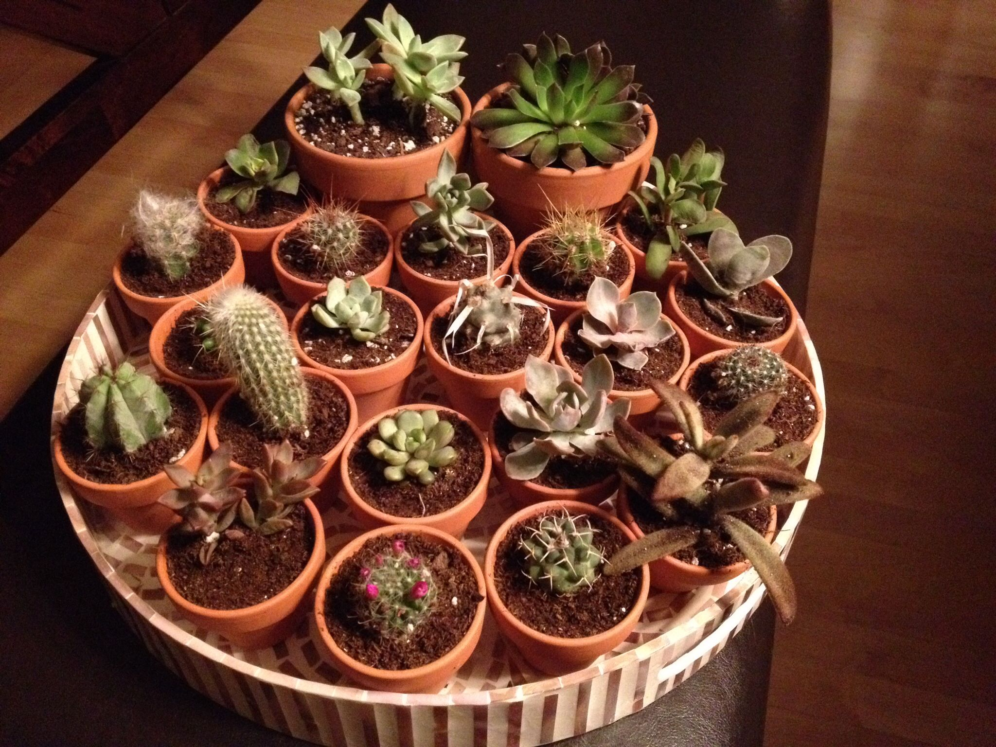 Succulents For Party Favors Amazon 20 Individual Plants For 25 Transplanted To Mini Terra Cotta Pots Fro Succulents Terracotta Pots Party Favors