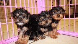 Yorkie Poo Puppies For Sale In Georgia Yorkie Poo Puppies For Sale In Ga Yorkie Poo Breeders In At Yorkie Poo Yorkie Breeders Yorkie