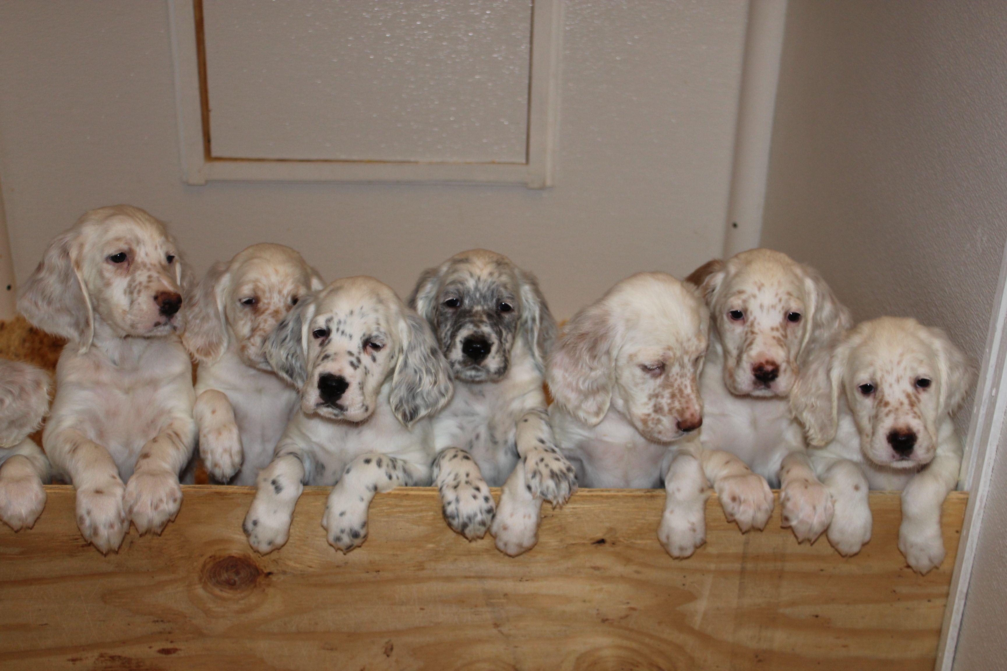 English Setter Puppy Lineup