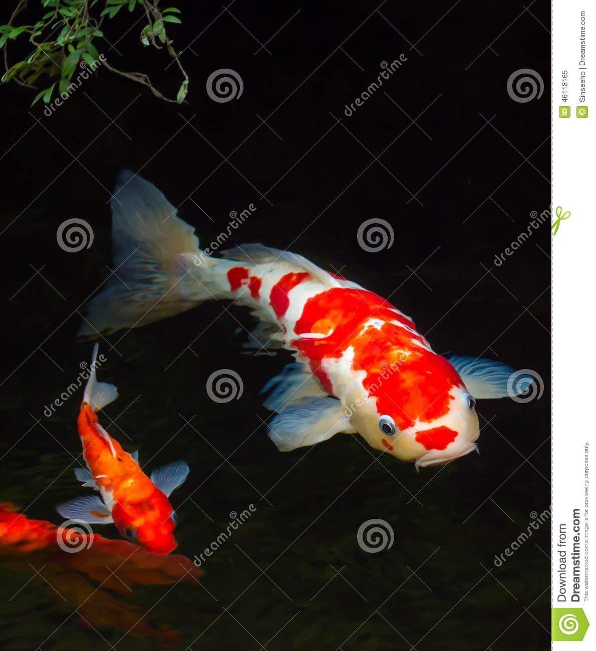 Koi fish stock image. Image of fortune, color, swimming - 46118165 ...
