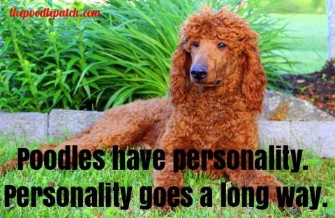 Poodles Have Personality Personality Goes A Long Way Poodle Big