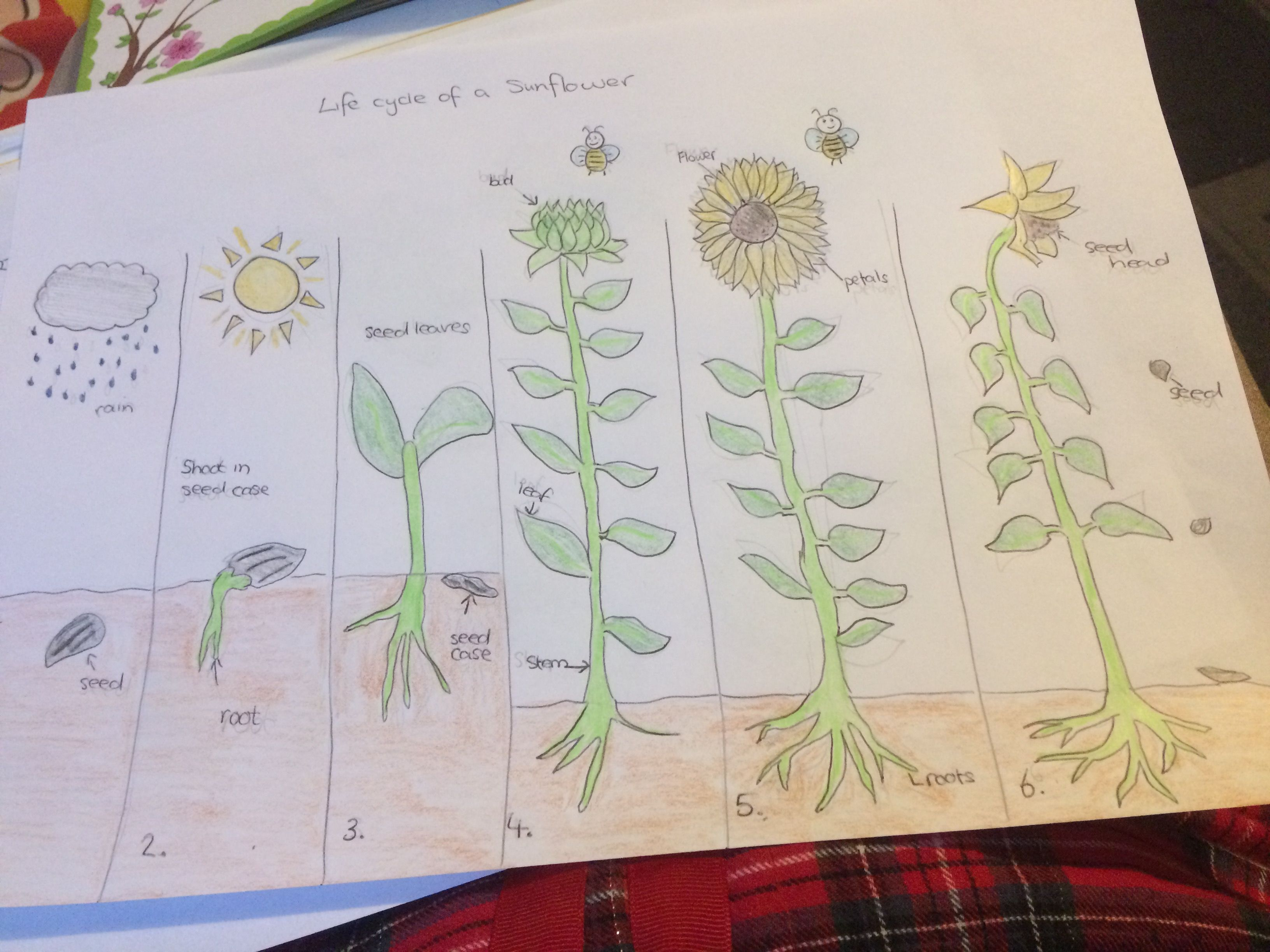 Life Cycle Of A Sunflower With Images