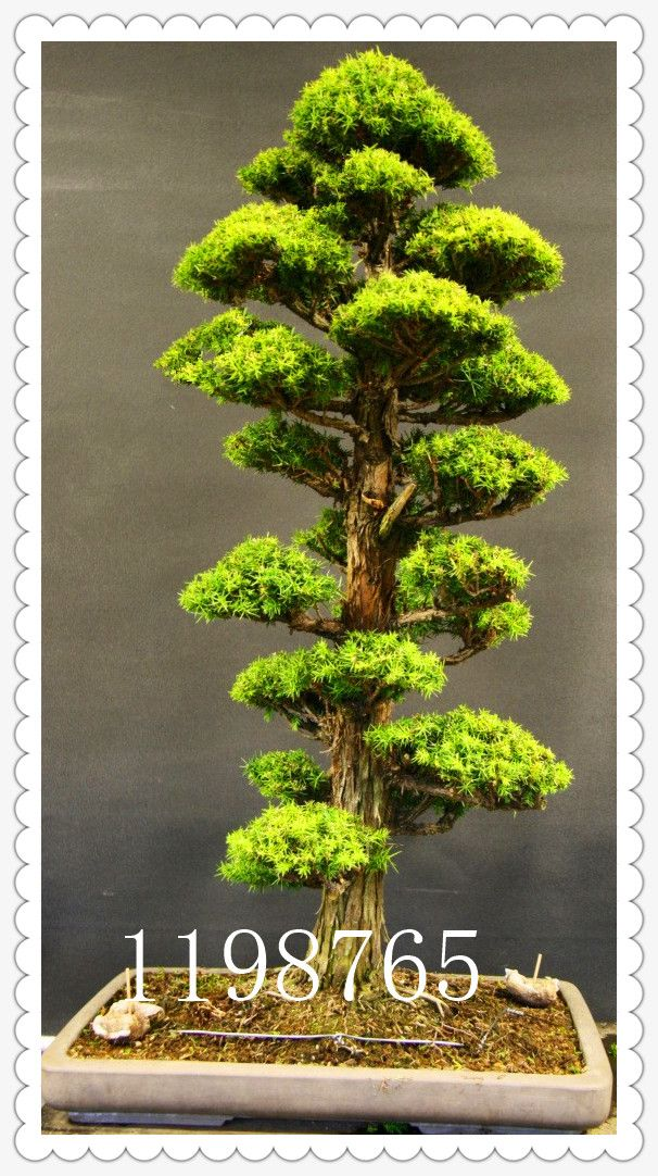 50 STÜCKE seltene baum samen für hausgarten bonsai Pflanze - pflanzen fur japanischen garten