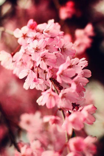 Cherry Blossom Photograph Cherry Blossom Blossom Flowers Photography