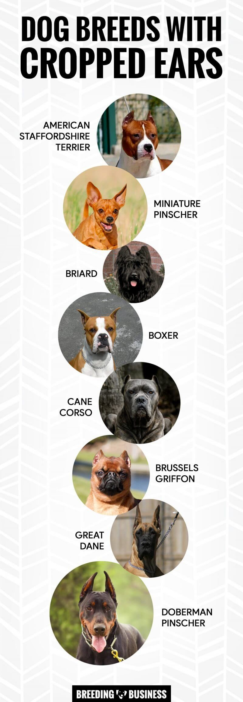 Ear Cropping In Dogs Dog Breeds Dogs Brussels Griffon