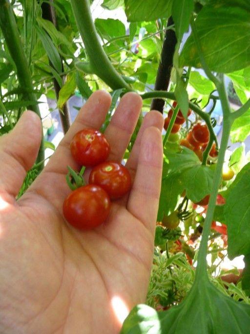Tomate En Pot Ou Jardiniere Sur Balcon Ou Terrasse En Ville