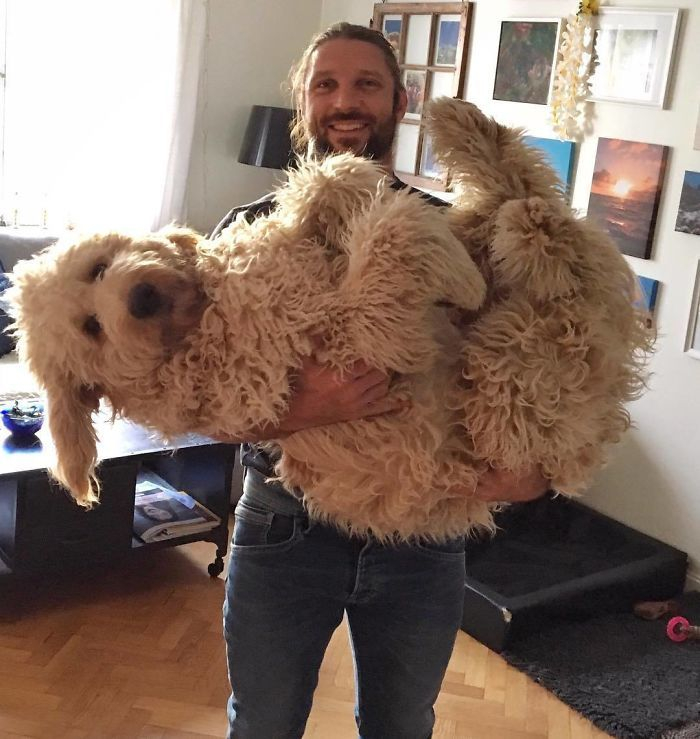35 Photos Proving Goldendoodles Are Different From Other Dogs