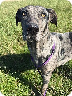 New Oxford Pa Great Dane Boxer Mix Meet Dudley A Dog For