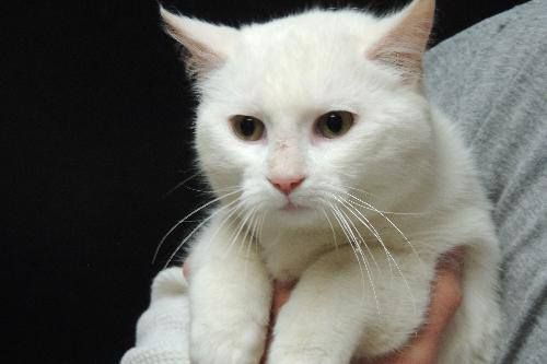 NAME: FROST ID# F-14-081 BREED: DSH SEX: MALE... AGE: 1 TO 1 1/12 YRS OLD WEIGHT: 8 LBS HEALTH: GOOD FELV/ FIV NEG TEMPERAMENT: GOOD WITH PEOPLE & CATS, UNTESTED DOGS. IF INTERESTED IN ADOPTION OR RESCUE PLEASE CALL OR EMAIL THE SHELTER DURING BUSINESS HOURS (MON-SAT 8-4:30, WE CAN NOT MAN FACEBOOK PLEASE CALL 803-385-6341 EXT 1 OR EMAIL CHESTERSCANIMALCONTROL@YAHOO.COM  https://www.facebook.com/photo.php?fbid=529991500433038&set=a.310960699002787.67639.299621686803355&type=1