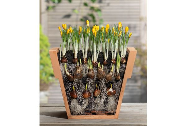 Keväällä kukkiva istutus: samaan ruukkuun voi yhdistellä eri kukkia, koska niillä on eri istutussyvyys.