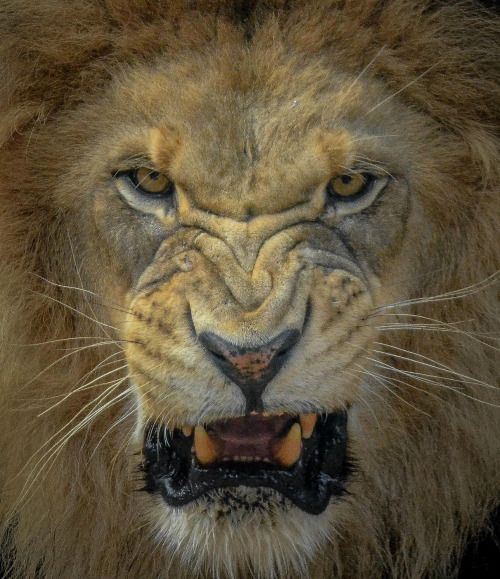 Male lions roar to establish territory but with the decline of