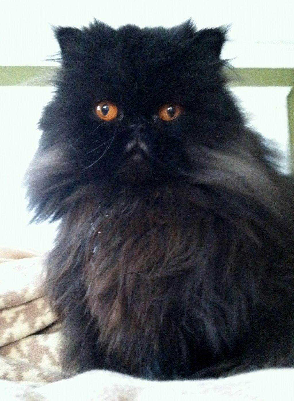 Pin by Diane Ruiz on KITTY KATS Persian cat, Himalayan