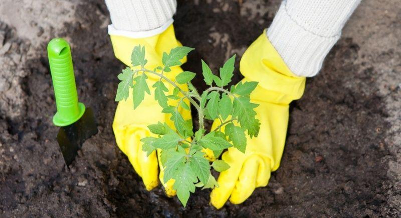 Что класть в лунку при посадке помидоров - удобрение для ...