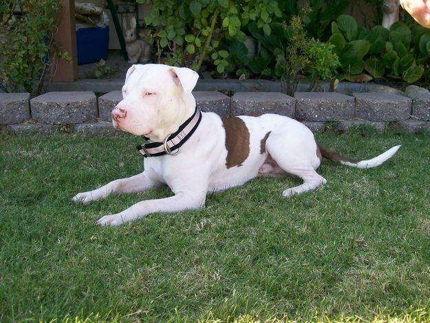 So Pretty Love His Brindle Pitbulls Red Nose Pitbull Puppies Pitbull Puppies