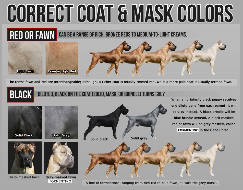Learn More About How The Cane Corso Should Look Like Cane Corso Cane Corso Colors Cane