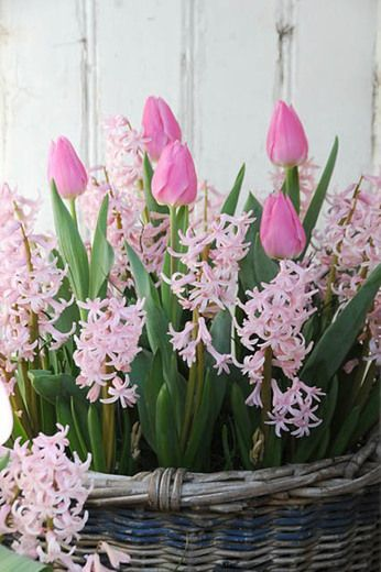 Hyacinthus Orientalis Pink Festival Hyacinth Pink Festival Multi Flowering Hyacinth Dutch Hyacinth Hyacinthu Spring Bulbs Spring Flowers Tulips Flowers