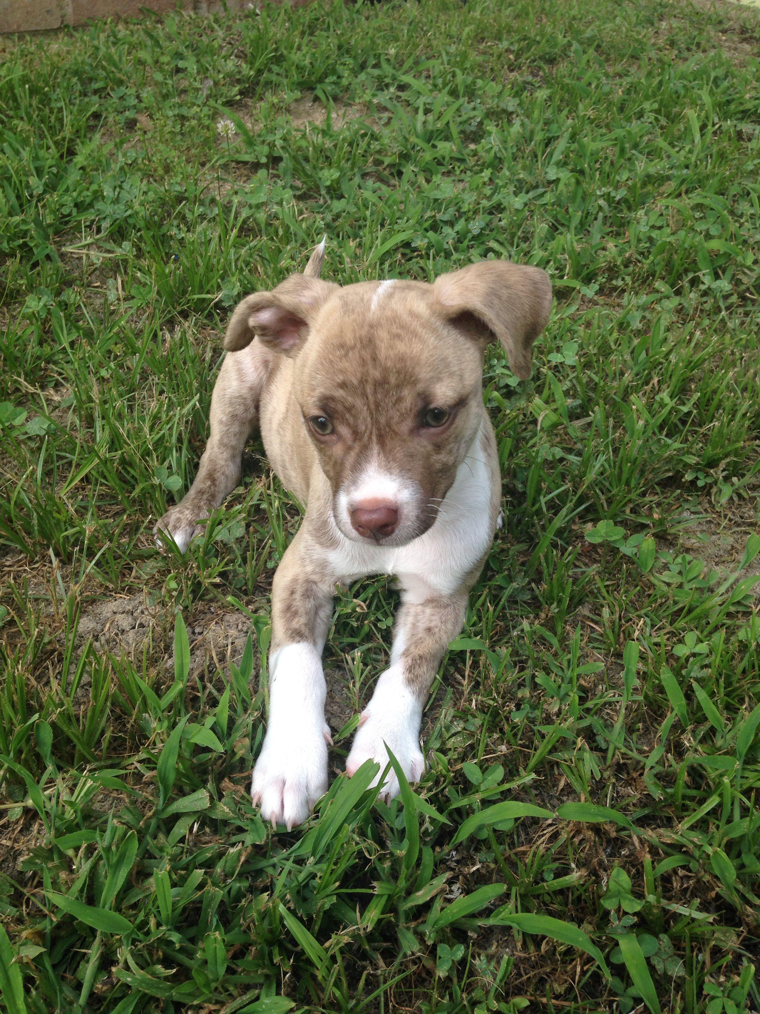 Pithuahua Cuteness Overload Animals Animals Best Dogs